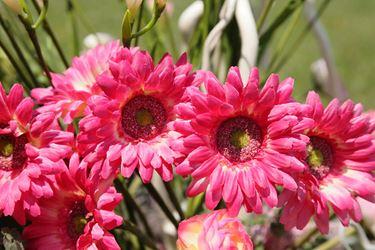 Immagine di Gerbera singola rosa scuro, h. cm 53