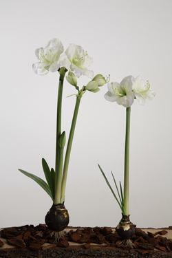 Immagine di Amarillys bianco, h.cm80
