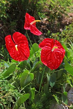 Picture of Anthurium h.65cm,