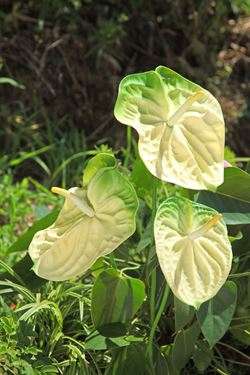 Picture of Anthurium h.82cm, 