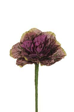 Immagine di Cavolo ornamentale viola,  34 cm