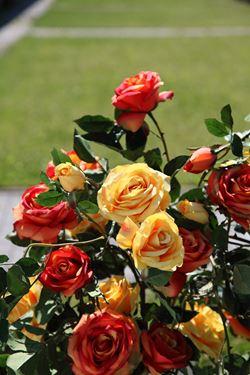 Immagine di Rosa x3 giallo, h. cm 100