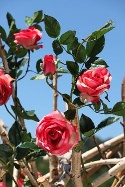 Immagine di Rosa x3 rosa scuro, h. cm 100