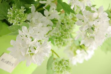 Immagine di Bush Viburium, bianco, h42 cm