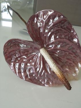 Picture of Anthurium Vitrum