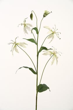 Picture of Gloriosa h.105cm crema