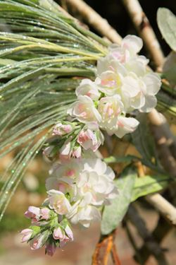 Picture of Violaciocca, h.72cm crema/rosa
