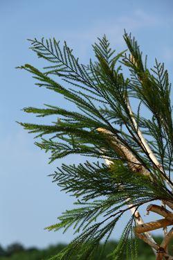 Immagine di Asparagus verde, h.cm101