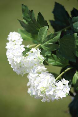 Picture of Viburnum x7/50foglie crema h.cm125