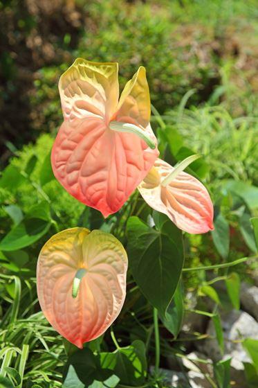 Picture of Anthurium h.82cm,  rosa