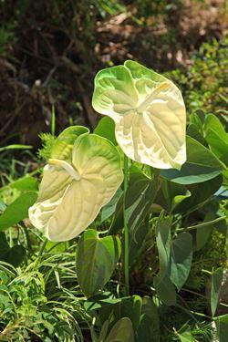 Picture of Anthurium h.65cm, bianco