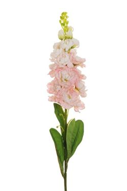 Picture of Violaciocca, rosa, h.81cm