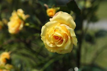 Immagine di Bocciolo mini rosa h.67cm giallo