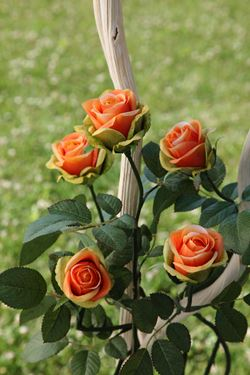 Immagine di Rosa h.71cm (+chiusa) giallo/arancio