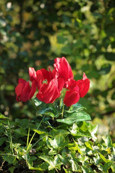 Picture of Bush ciclamini x7 h.25cm rosso