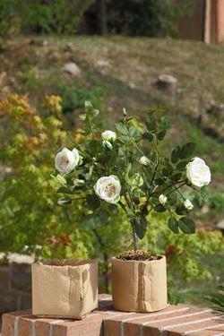 Immagine di Arbusto rose h.53cm panna