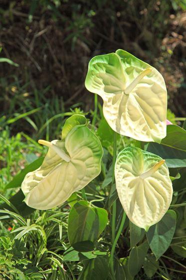 Immagine di Anthurium h.82cm,  crema/verde
