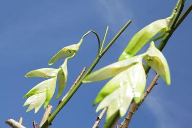 Immagine di Heliconia gigante Ice crema h.cm140